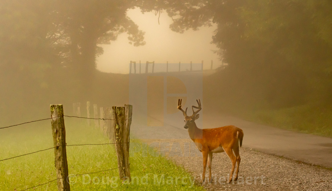 """White-tail deer along foggy lane"" stock image"