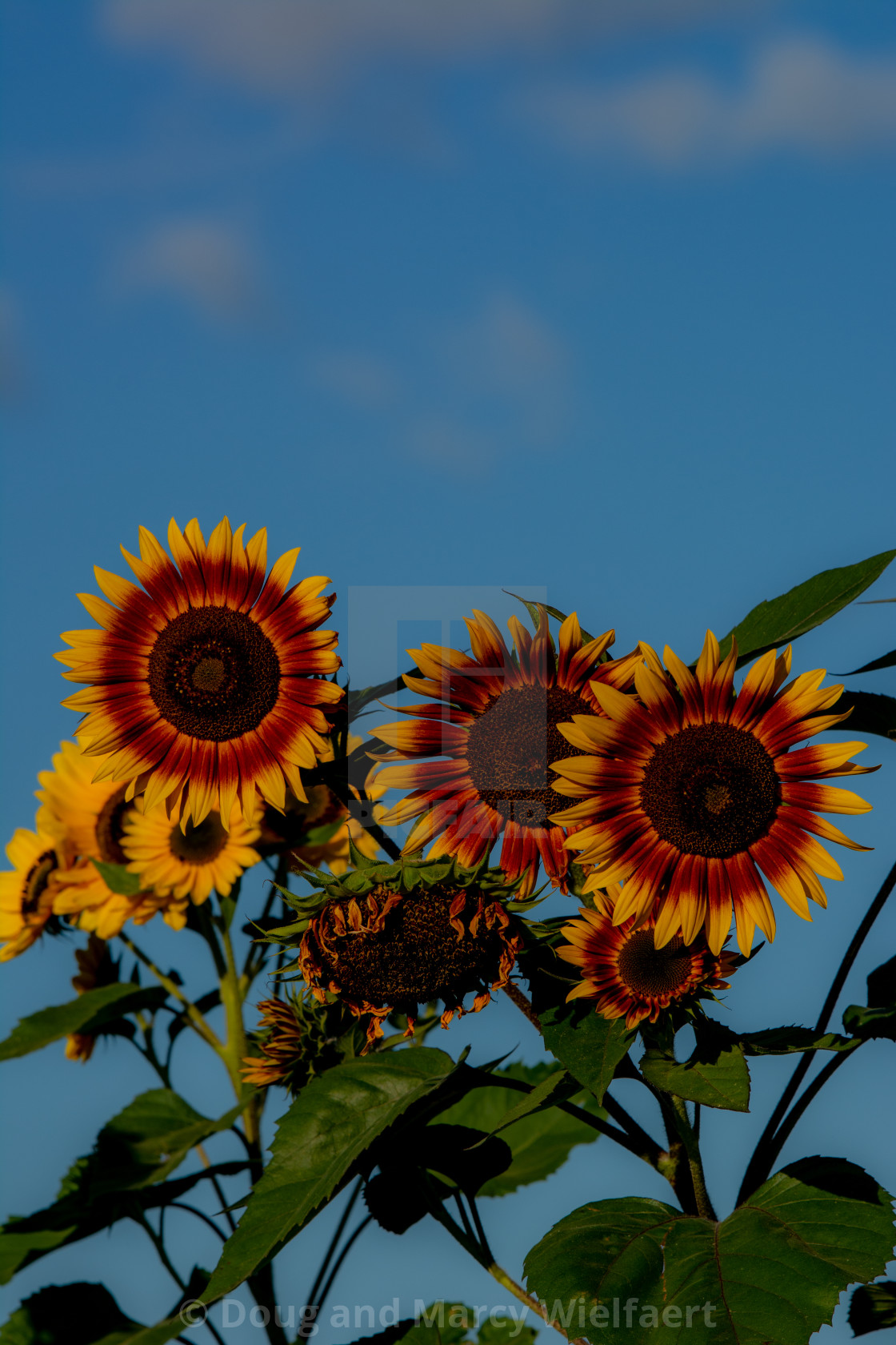 """Sunflower Morning"" stock image"