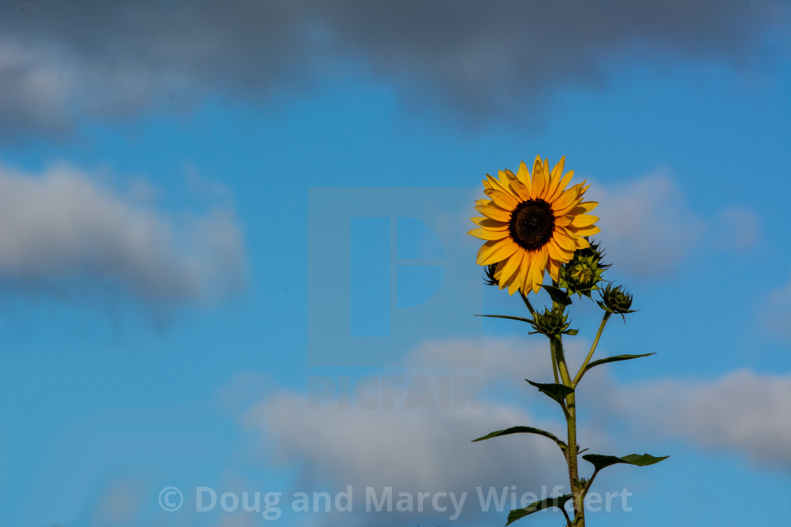 """Solitary Sunflower"" stock image"