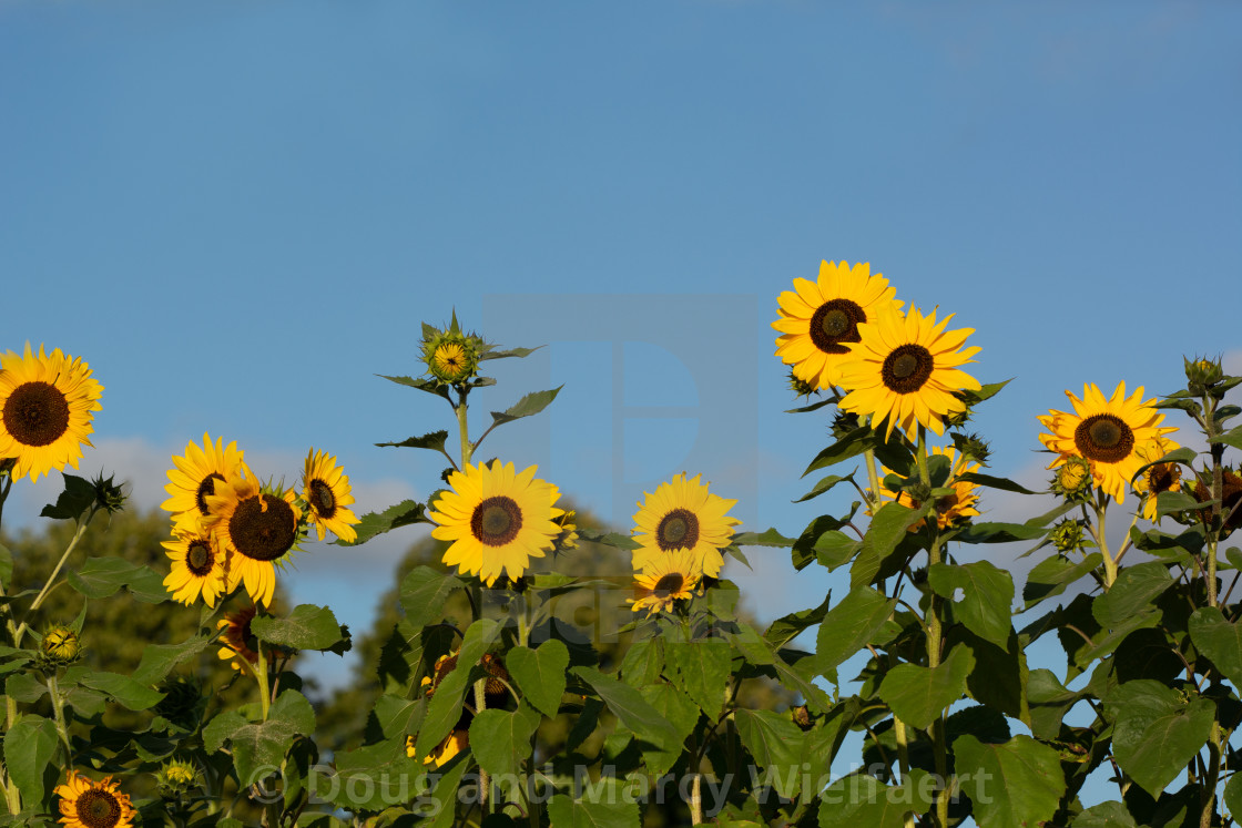 """Sunflower Serenity"" stock image"