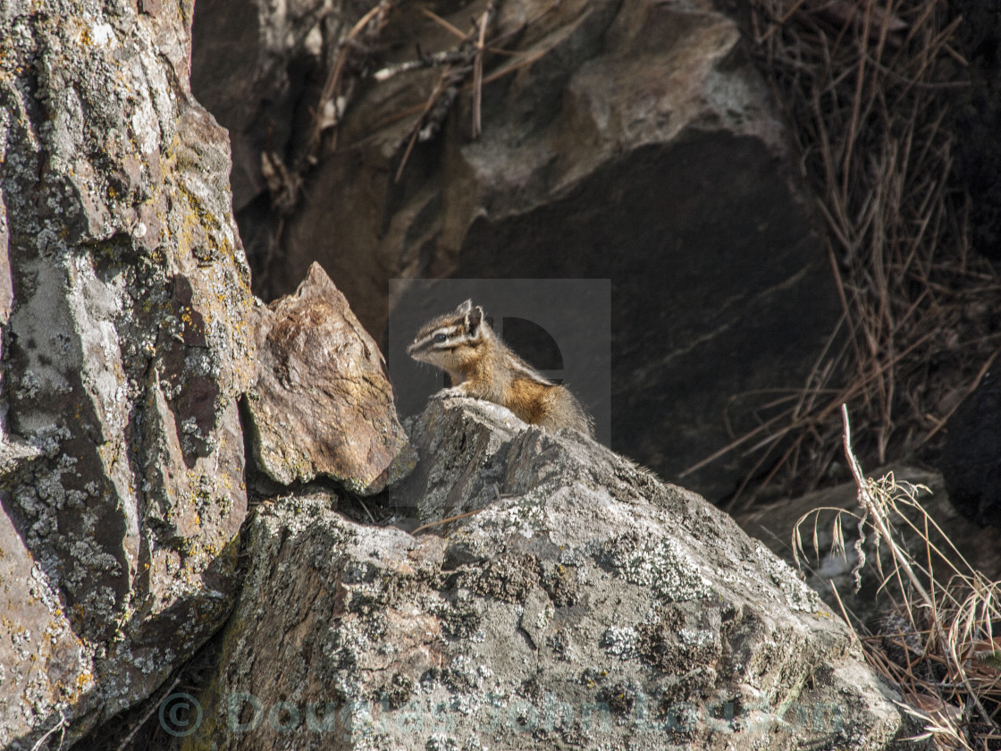 """Chipmunk"" stock image"