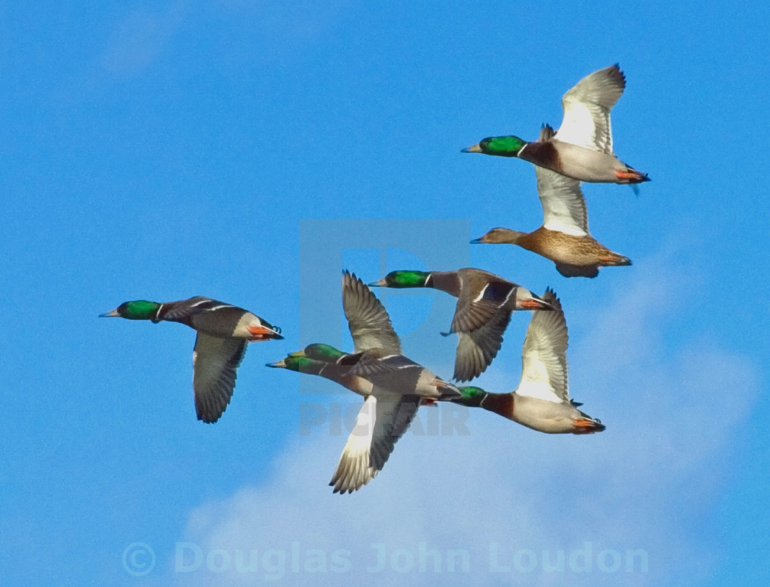 """Seven Ducks"" stock image"
