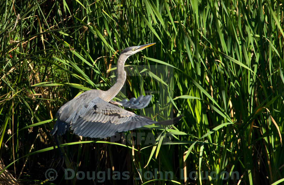 """Great Blue Heron"" stock image"
