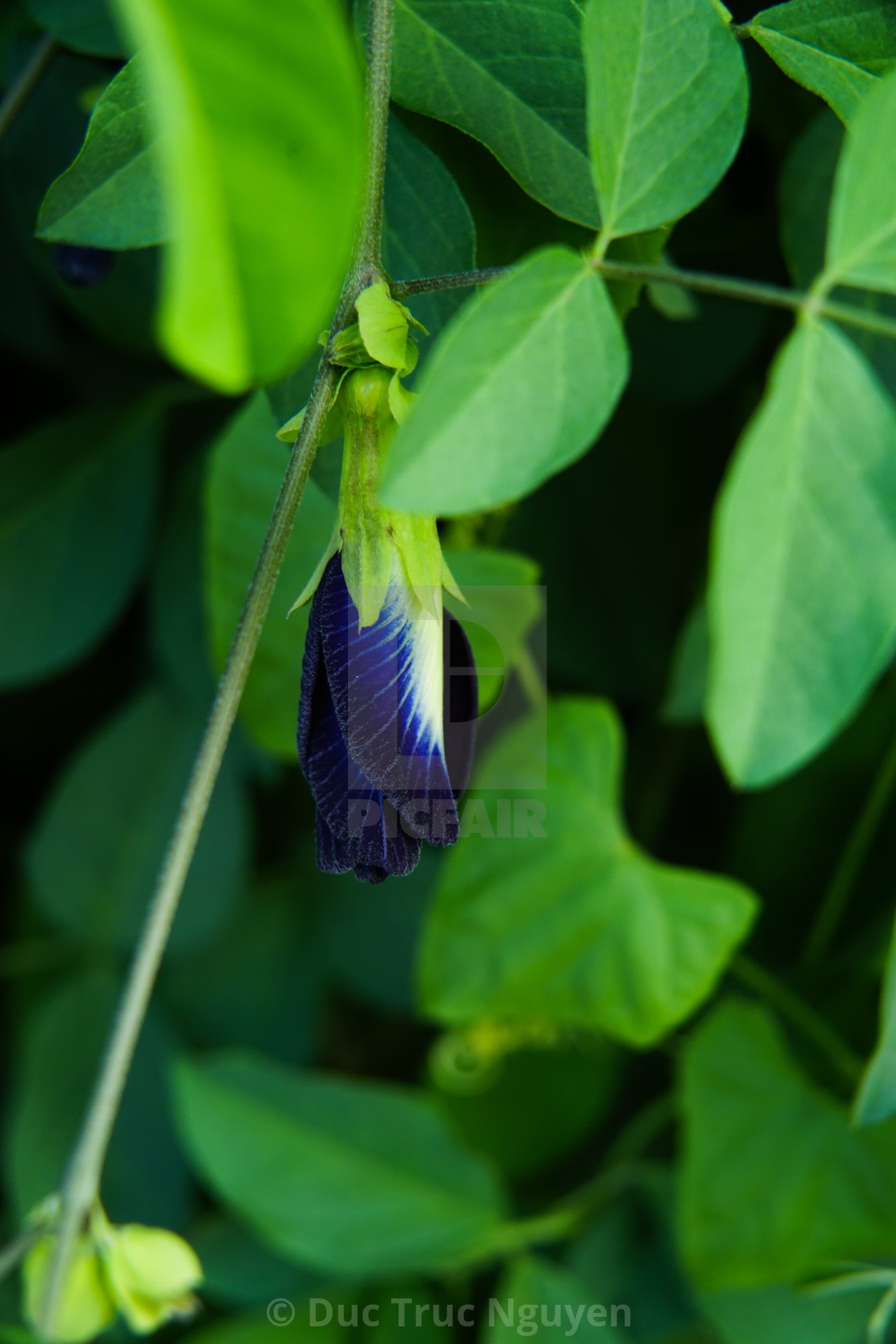 """""""Butterfly pea flowers."""" stock image"""