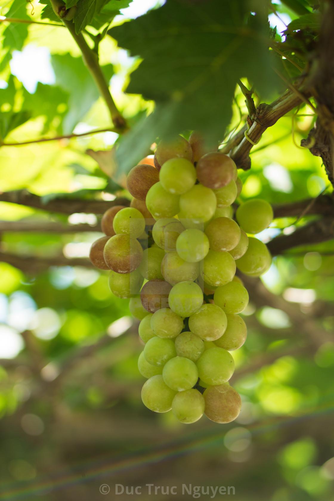"""Grape in a farm at Ninh Thuan, Vietnam."" stock image"
