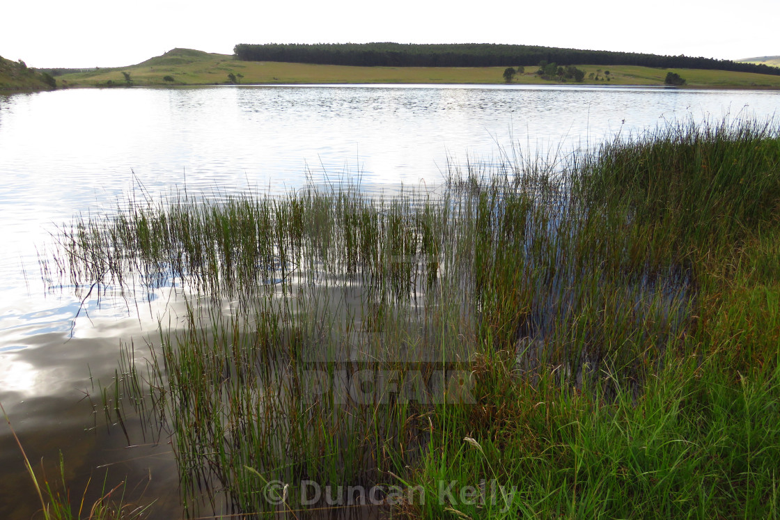 """""""Reeds in the calm water of a rural dam"""" stock image"""
