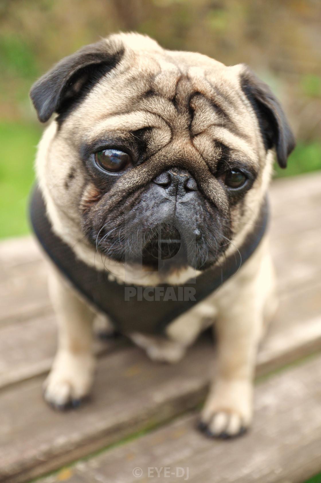 """""""Doug The Pug"""" stock image"""