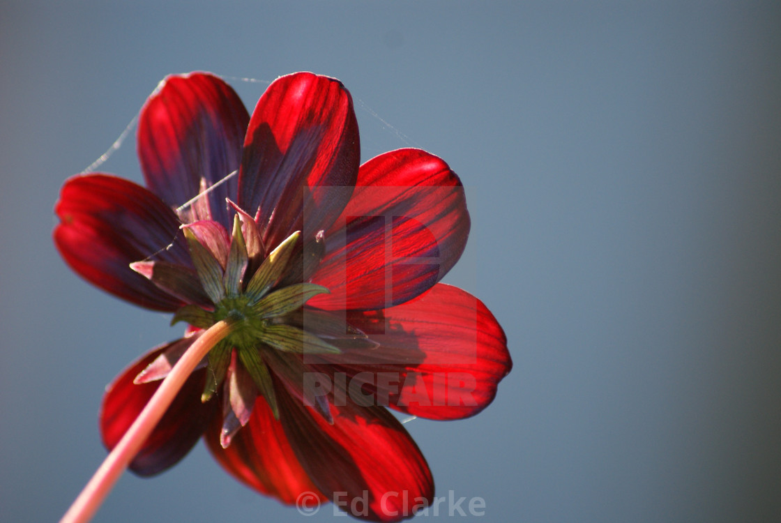 """""""Red Flower"""" stock image"""