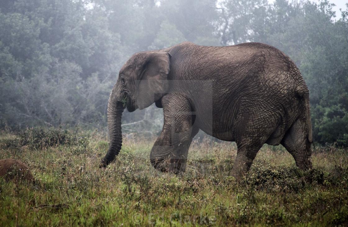 """Addo Elephant"" stock image"