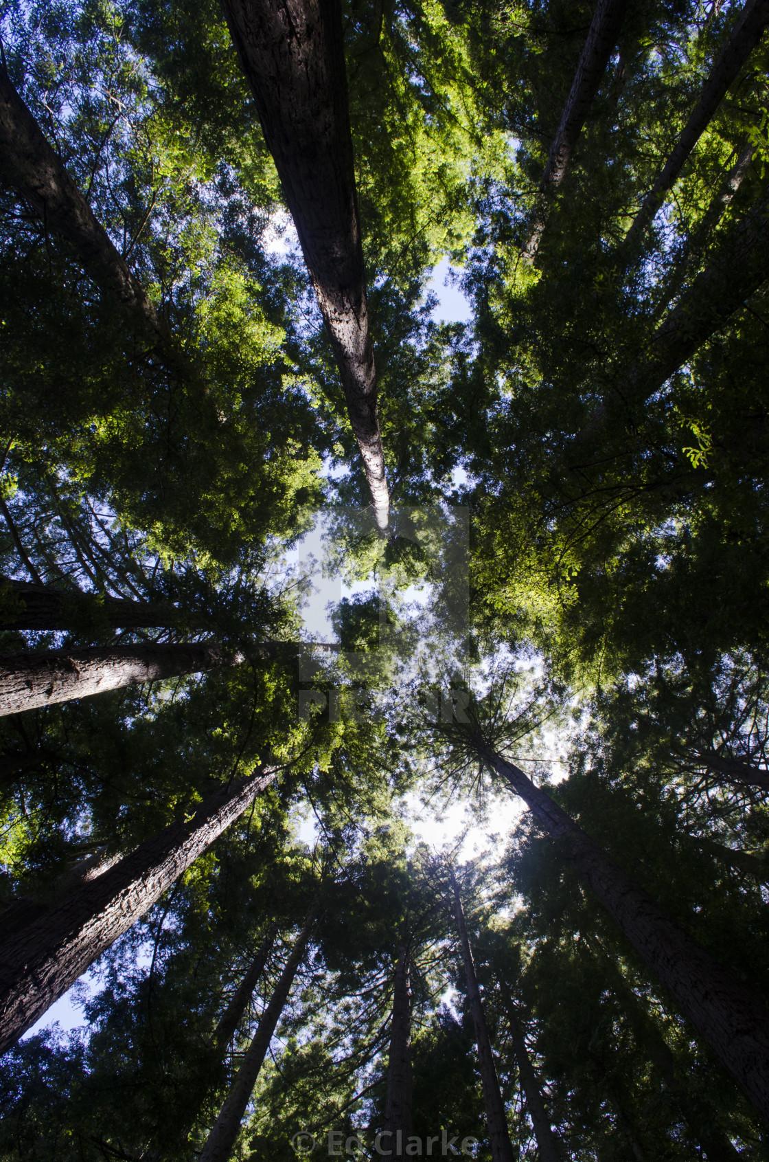 """Redwoods"" stock image"
