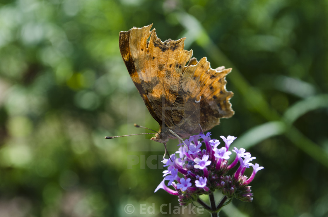 """Comma Butterfly"" stock image"