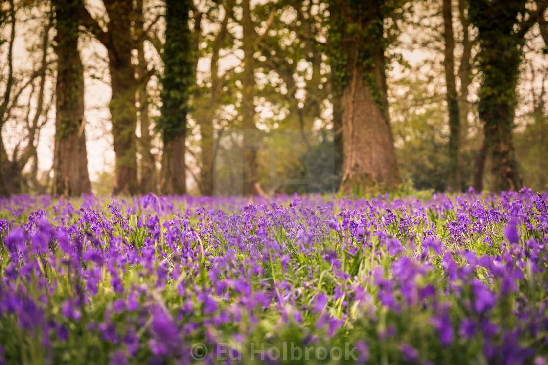 """Bluebells in the Woods"" stock image"