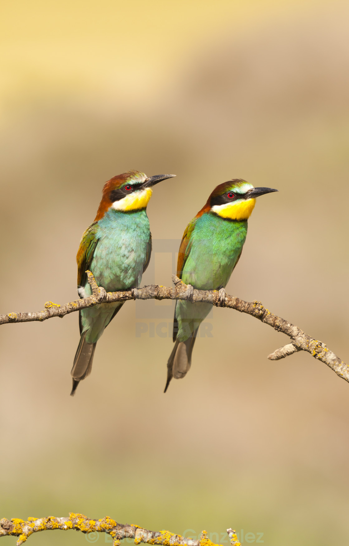 """""""Bee-eater"""" stock image"""