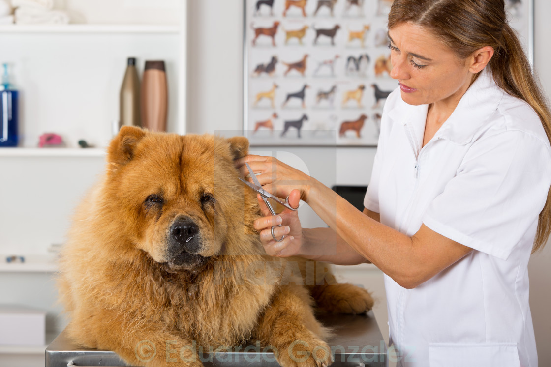 """Canine hairdresser"" stock image"