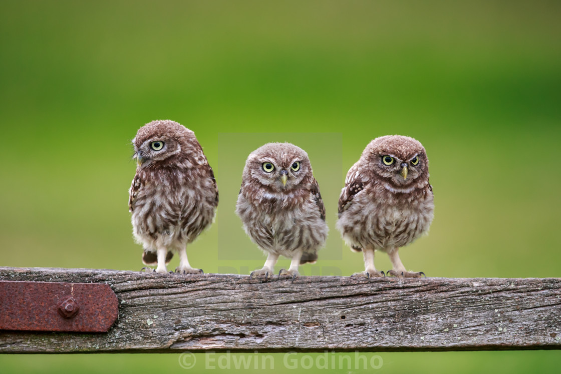 Three musketeers - Little owl fledglings waiting to be fed
