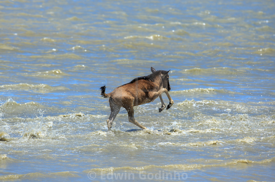 """River crossing - Blue wildebeest calf"" stock image"
