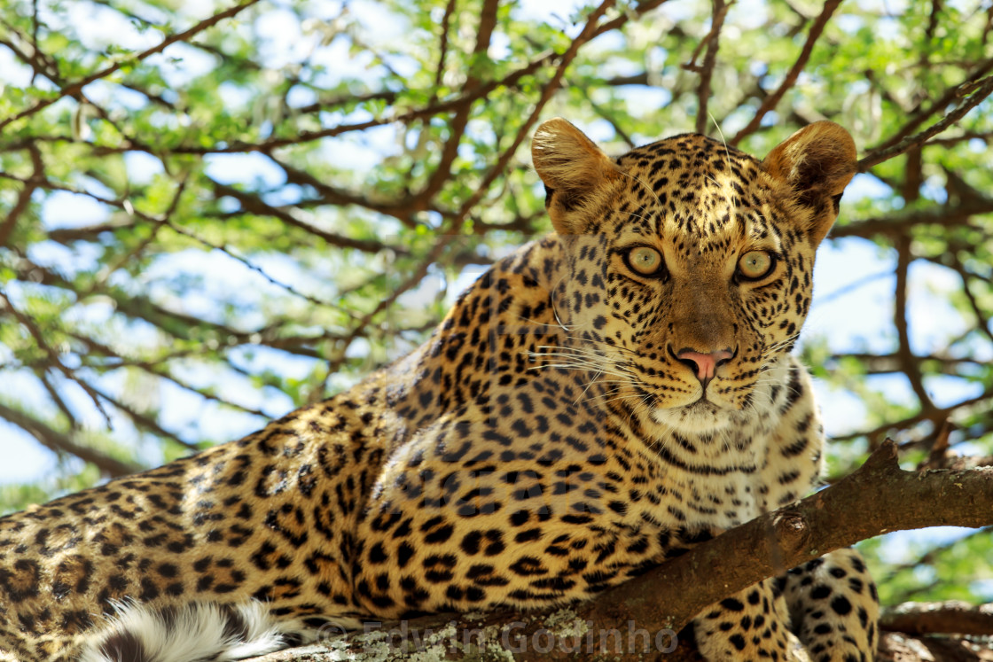 """If looks could kill - African Leopard up a tree"" stock image"