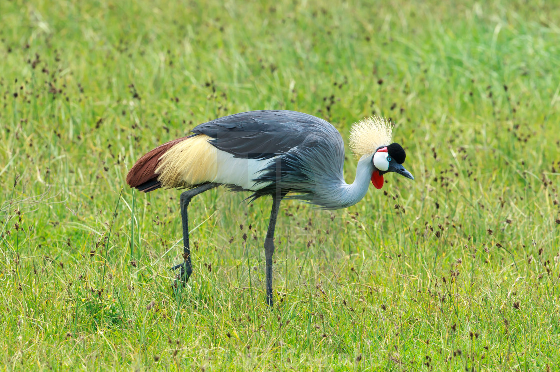 A Grey-crowned crane foraging in Ngorongoro crater
