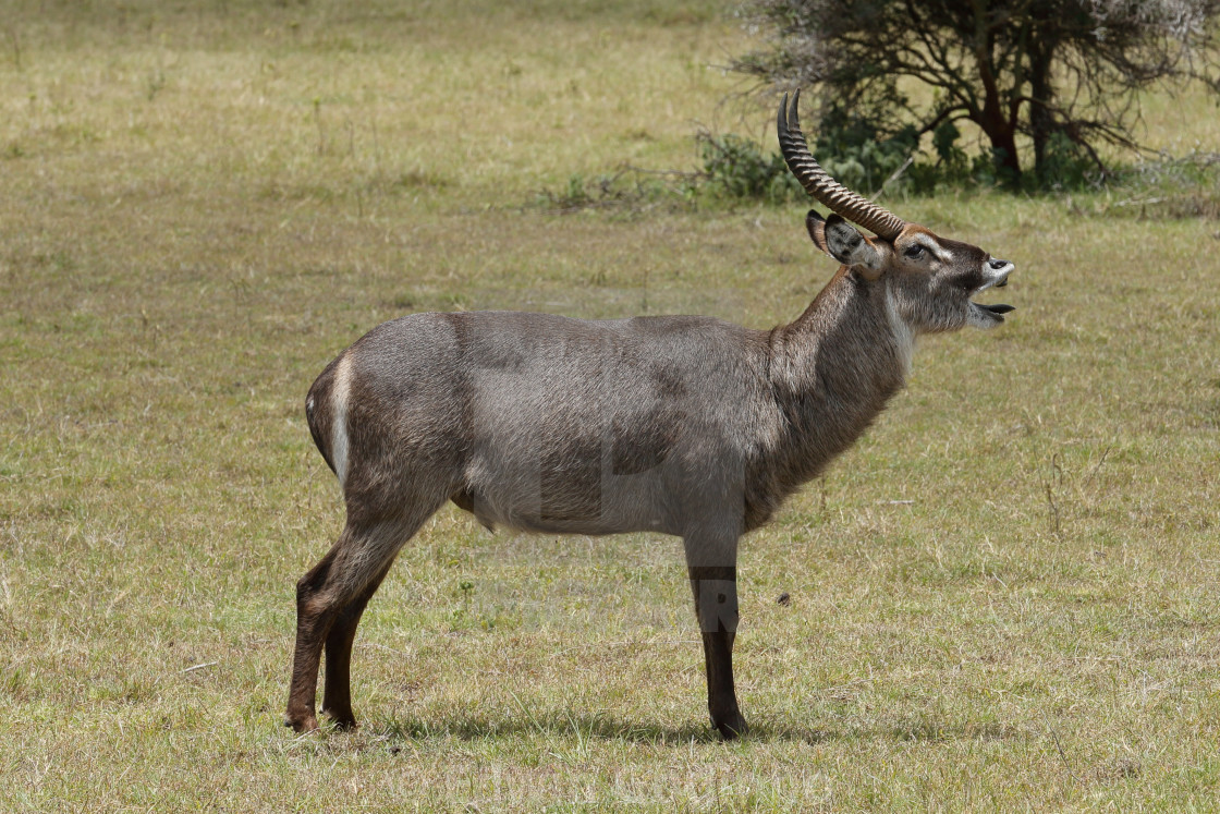 """A Waterbuck male stag bellowing"" stock image"