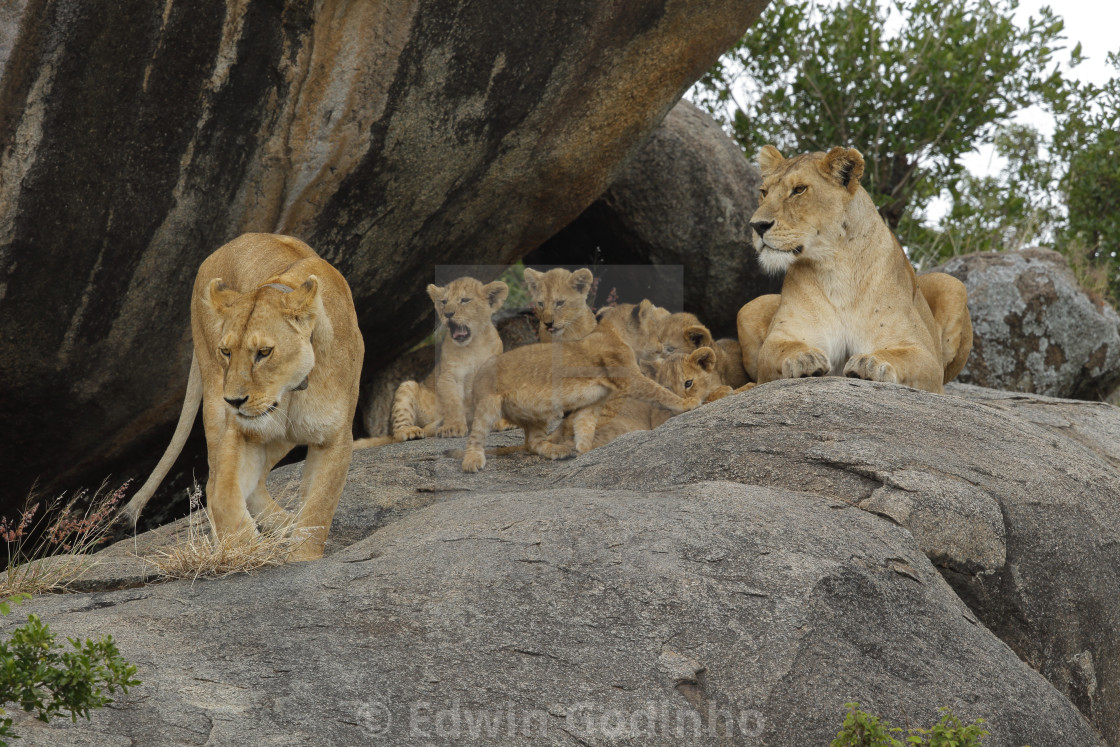 A pride of African lions on a kopje with cubs