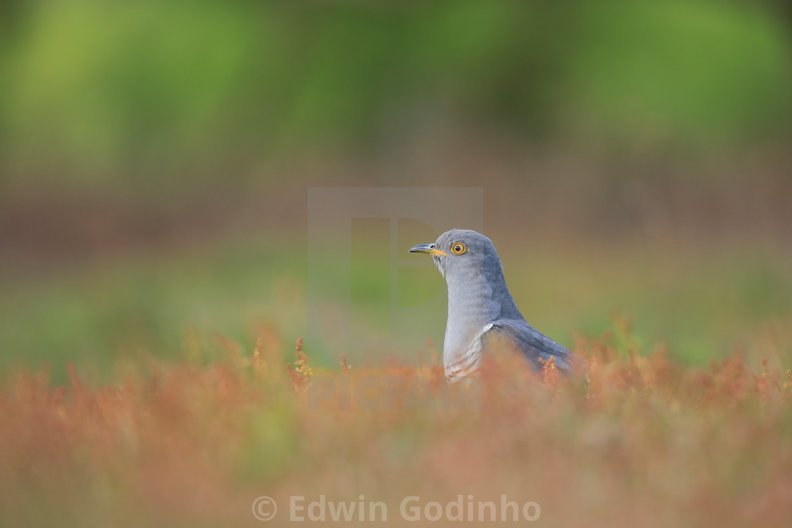 """The Common cuckoo foraging in the heather"" stock image"