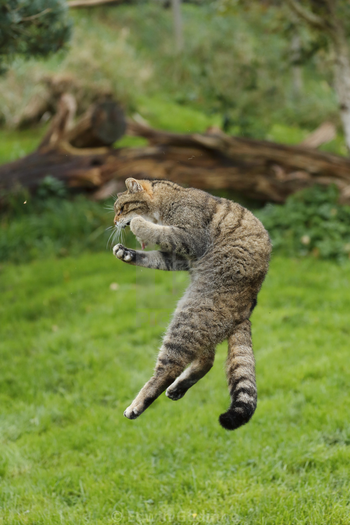 """A Scottish wildcat leaping to catch a bird"" stock image"