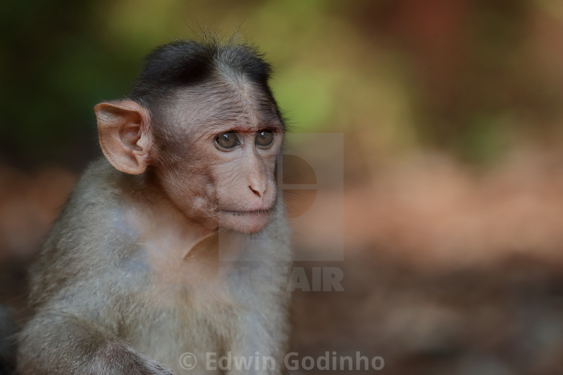 """A portrait of a Bonnet macaque"" stock image"