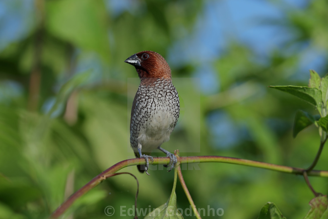"""Scaly-breasted munia"" stock image"