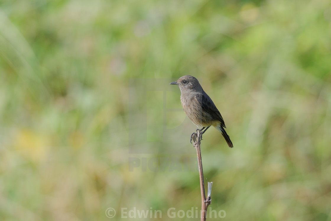 """Pied bush chat female"" stock image"