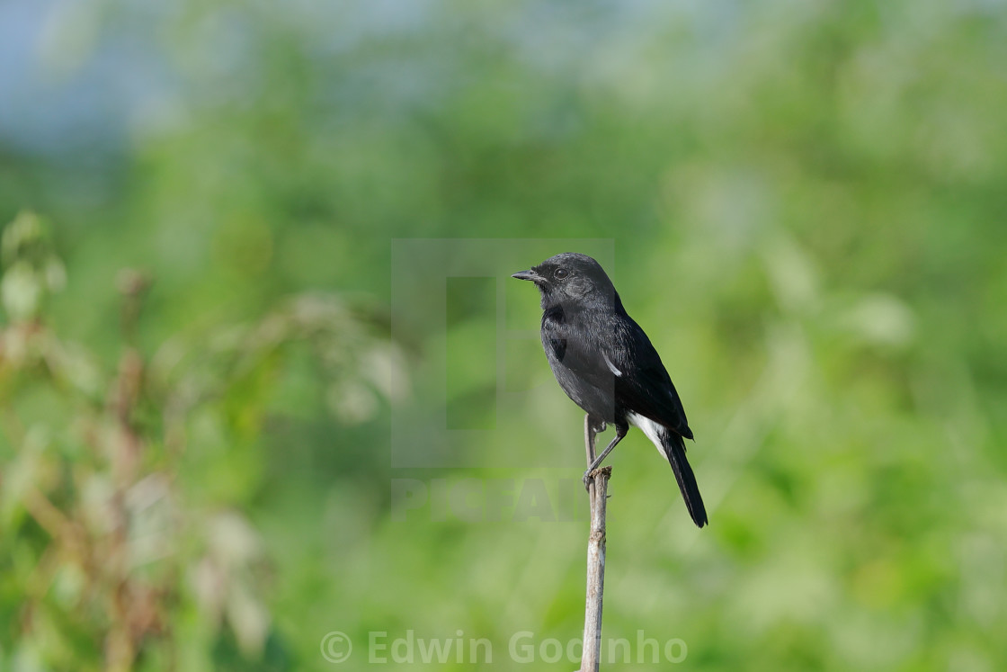 """Pied bush chat male"" stock image"