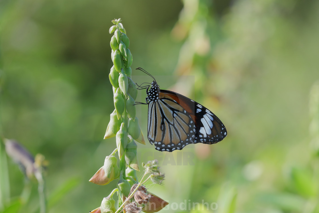 """Danaus genutia, the common tiger"" stock image"