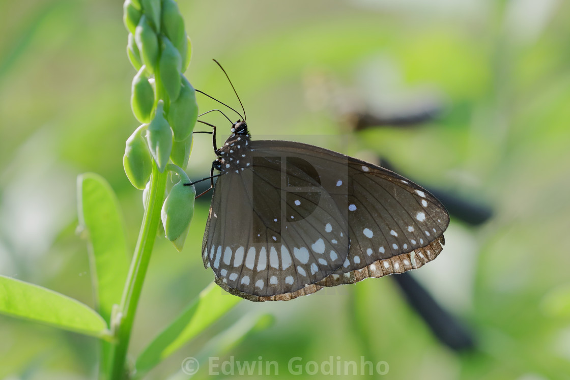 """Euploea core, the common crow"" stock image"