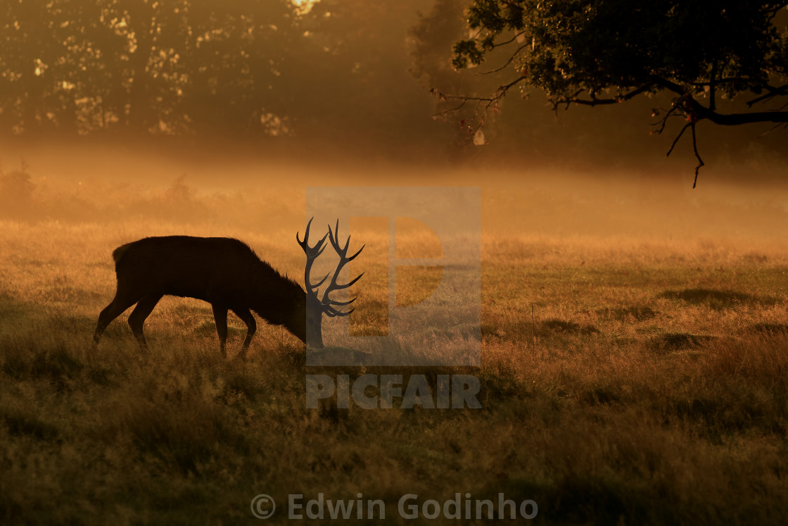 """A Red deer stag grazing at the crack of dawn"" stock image"