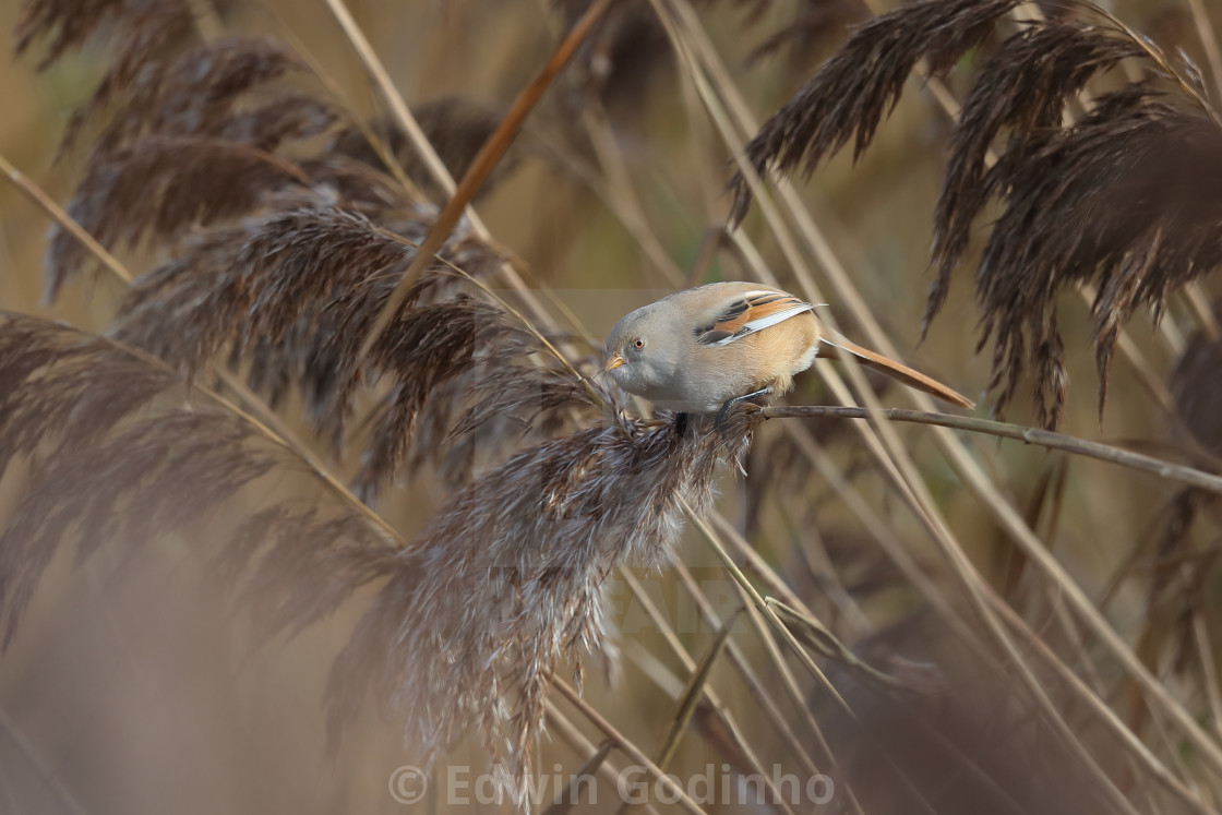 """A bearded reedling female"" stock image"