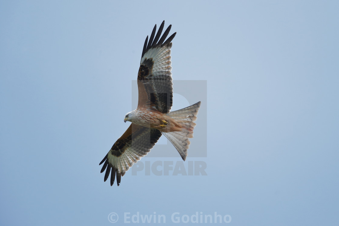 """The red kite"" stock image"