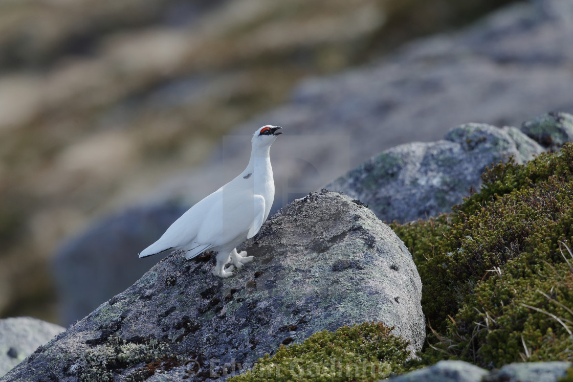 """The rock ptarmigan"" stock image"