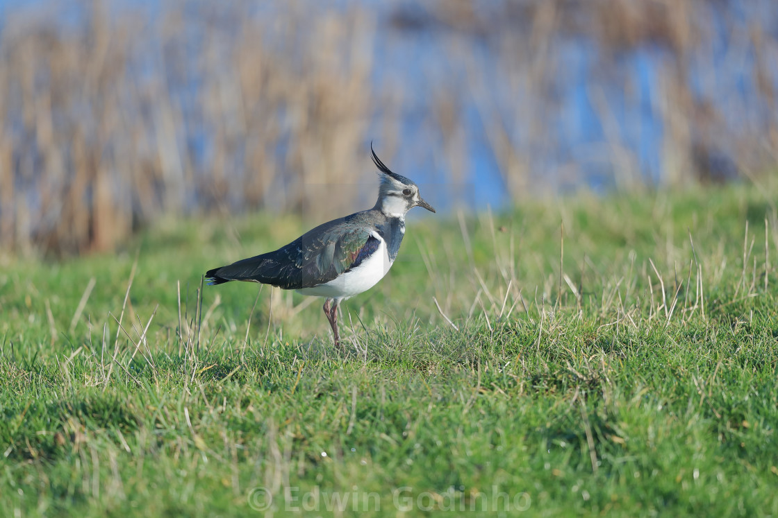 """""""The northern lapwing"""" stock image"""