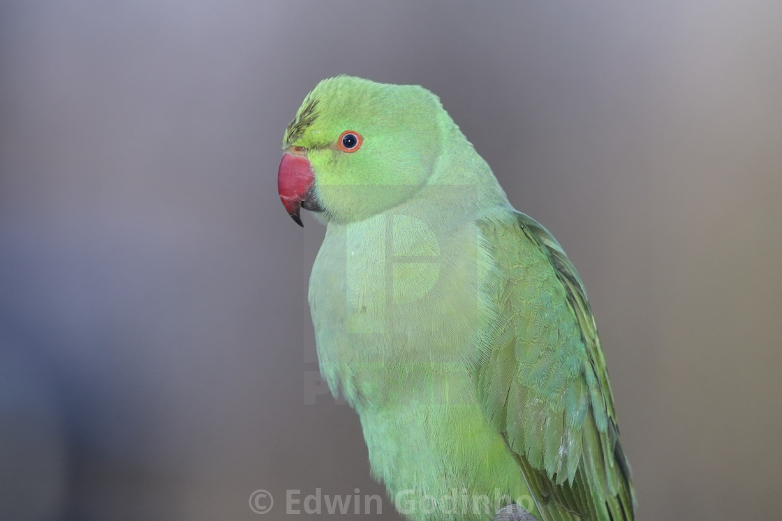 """The rose-ringed parakeet"" stock image"