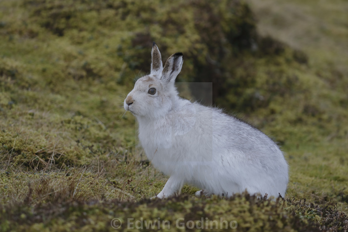 """""""The mountain hare"""" stock image"""