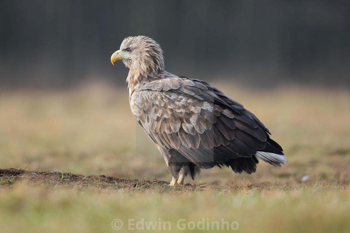 """A White-tailed eagle up close"" stock image"