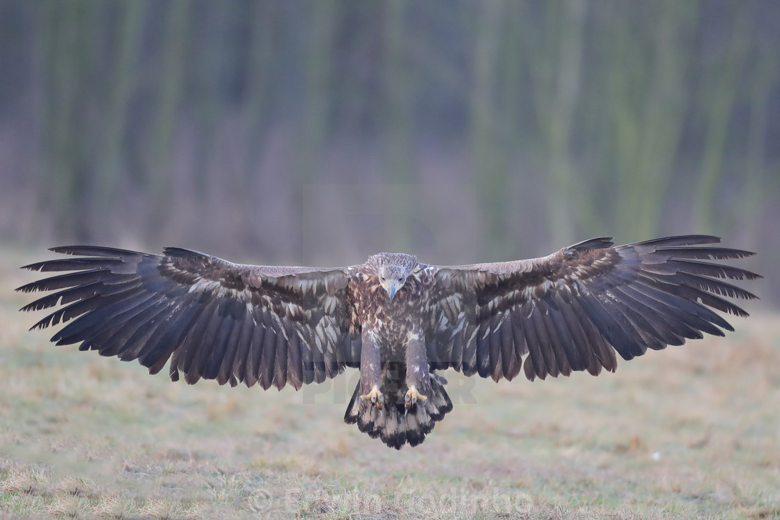 """""""A White-tailed eagle juvenile in full stretch"""" stock image"""