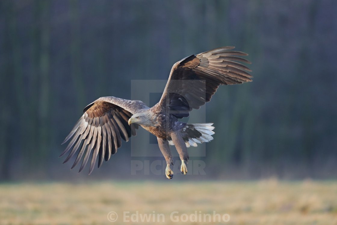 """""""A White-tailed eagle in golden light"""" stock image"""