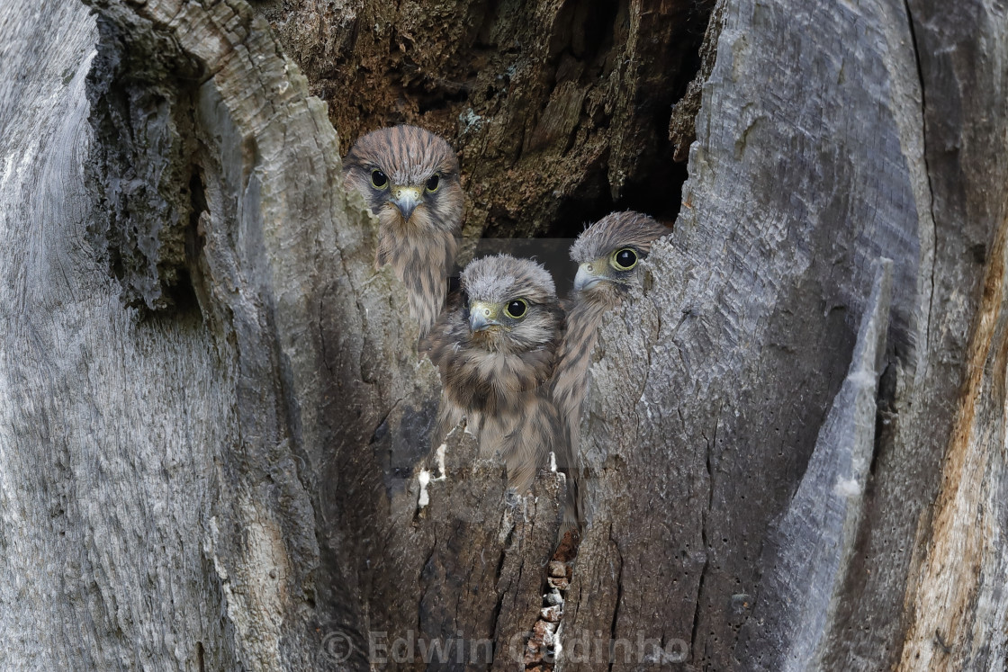 """Common kestrel chicks in their nesting hole"" stock image"