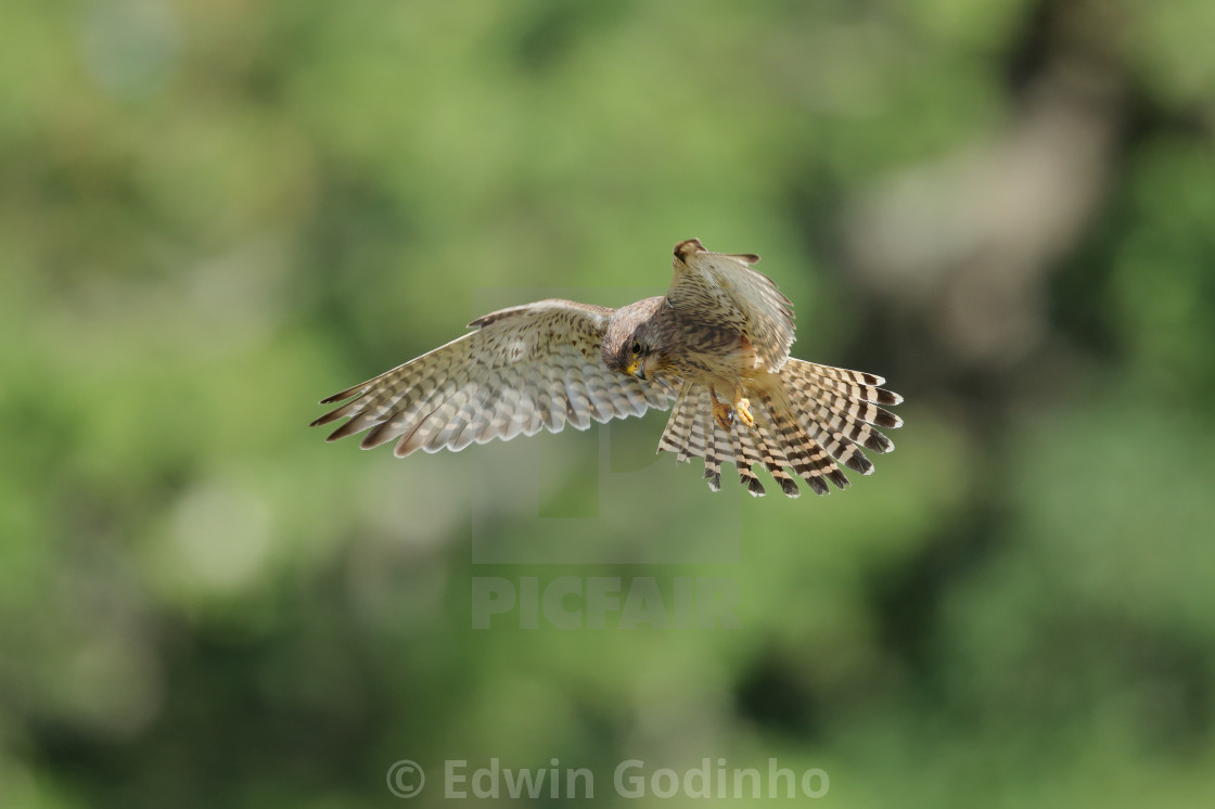 """""""A Common kestrel hovering"""" stock image"""