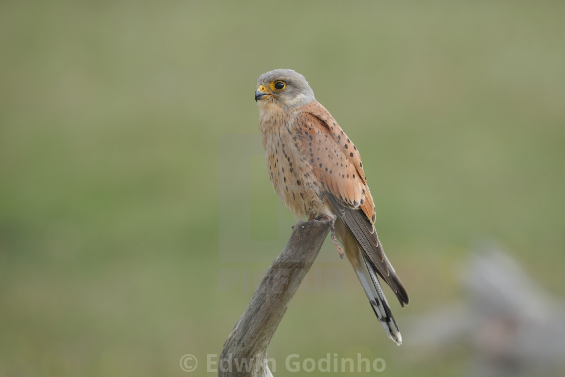 """A Common kestrel perched up close"" stock image"