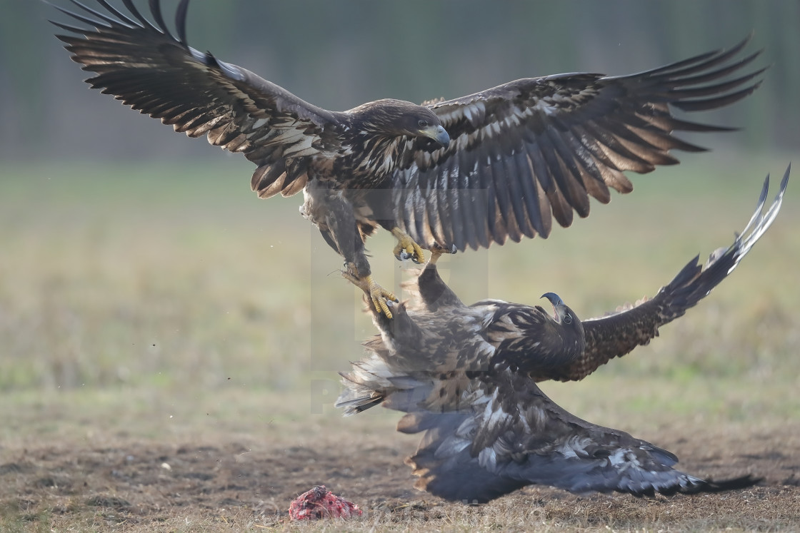 """""""Two juvenile White-tailed eagles fighting over carrion"""" stock image"""