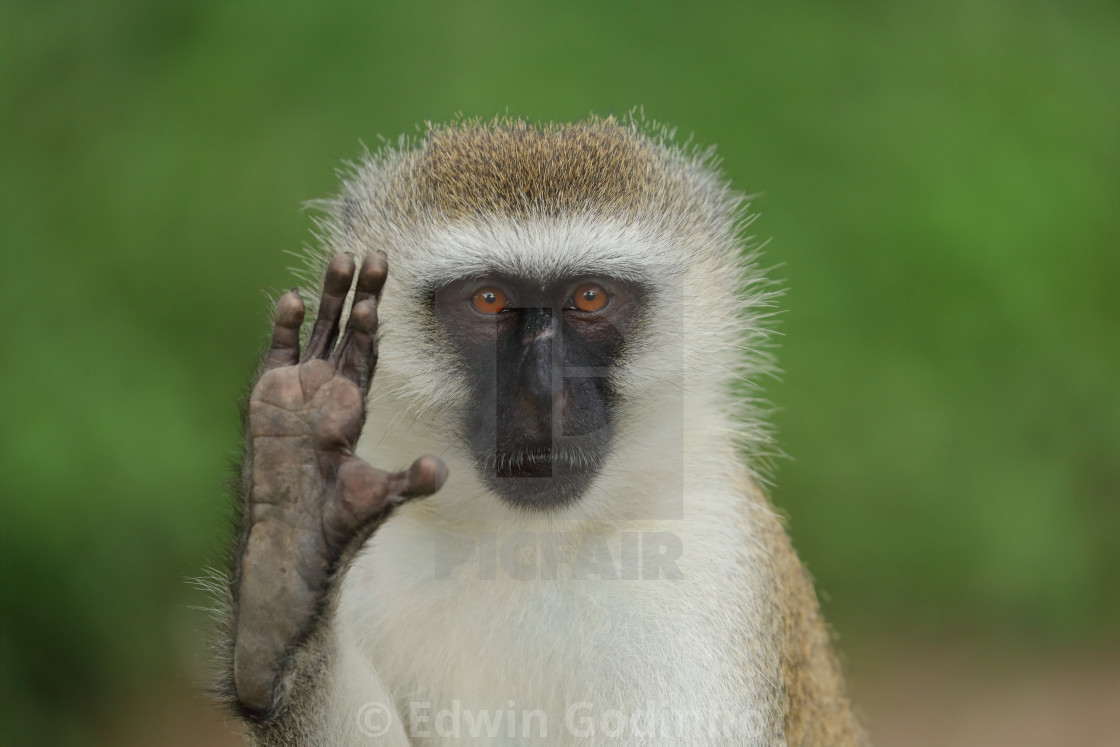 """A vervet monkey saying hello"" stock image"