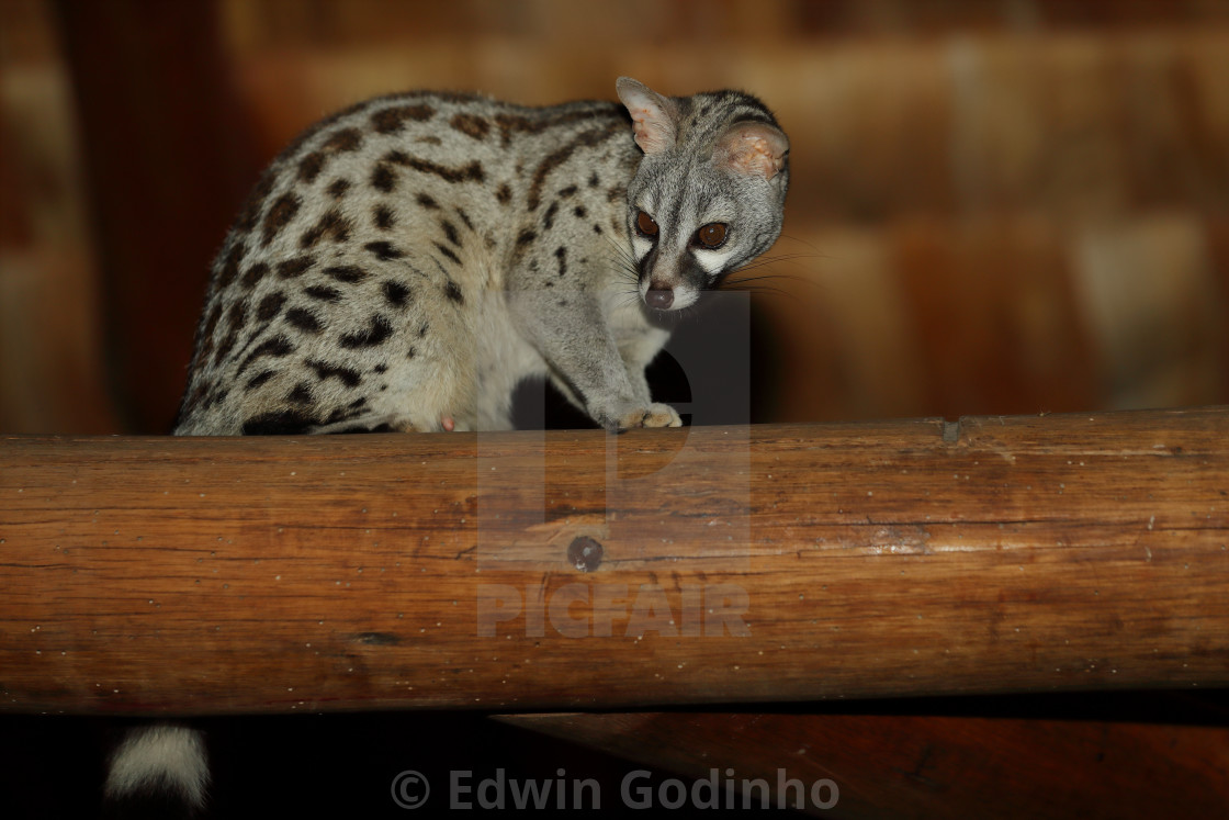 """""""A genet on a beam"""" stock image"""