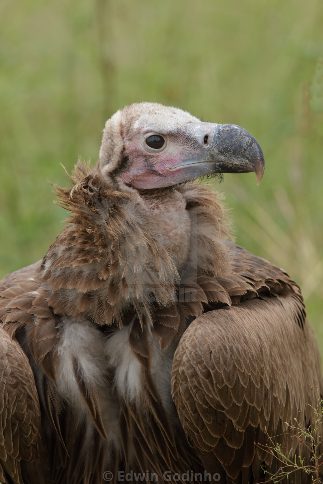 """The lappet-faced vulture or Nubian vulture"" stock image"