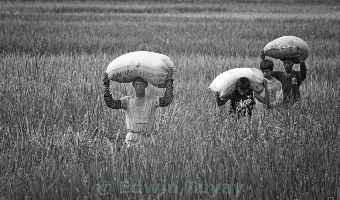"""Rice harvest"" stock image"